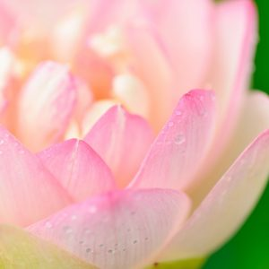 Canva - Pink Lotus Flower